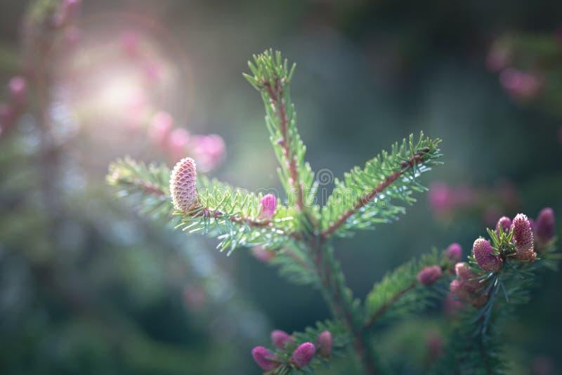 Cone cor-de-rosa do pino da primavera fotos de stock