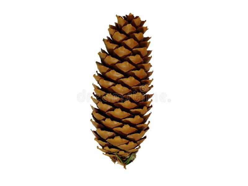Cone de abeto na floresta fotografia de stock