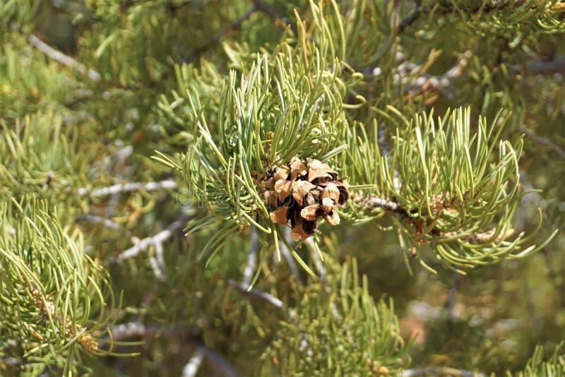 Cone de Pinyon no pinheiro foto de stock royalty free