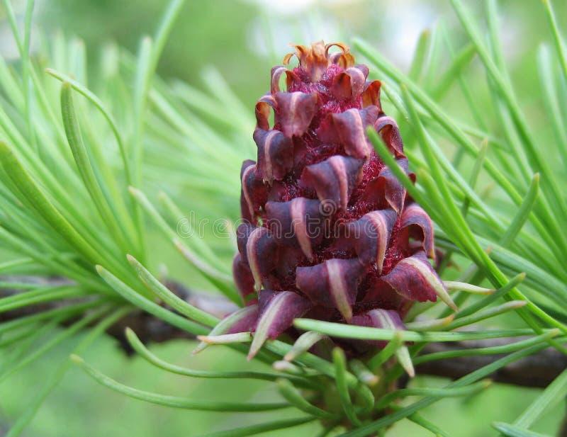 Cone de Purpure imagens de stock royalty free