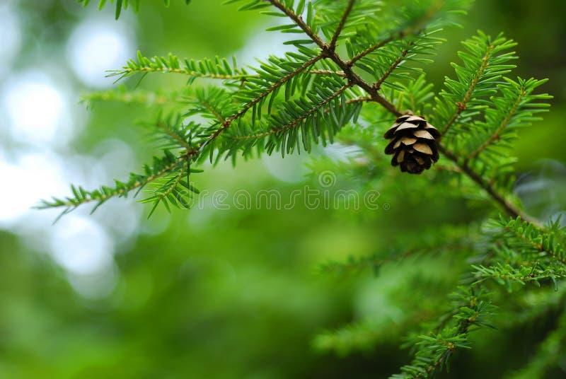 Cone do pinho da árvore de pinho imagem de stock