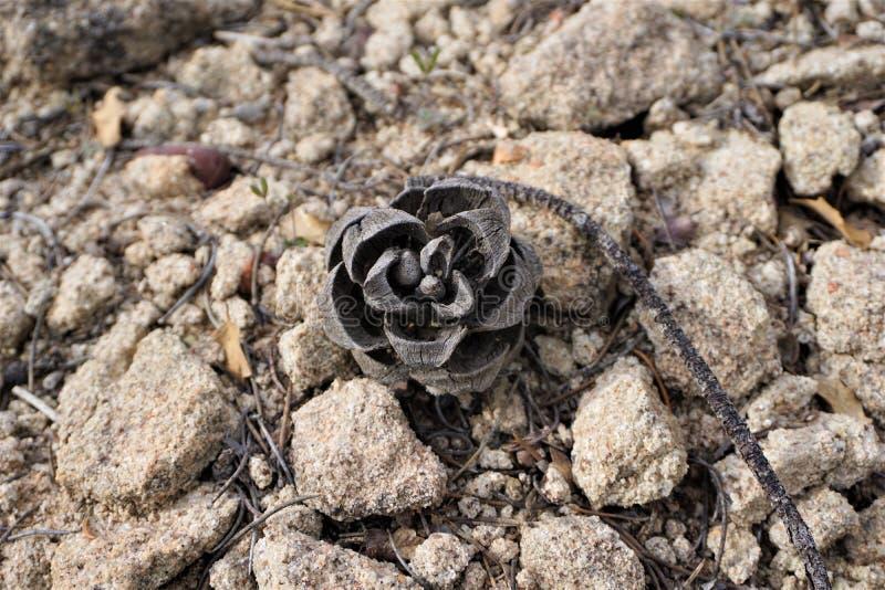 Cone do pinho de Pinyon contra o solo de deserto arenoso imagem de stock