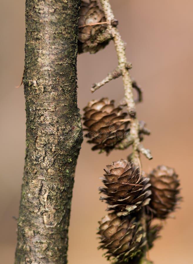 Cone do pinho em uma árvore imagem de stock royalty free