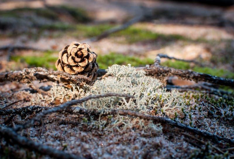 Cone do pinho na floresta imagens de stock