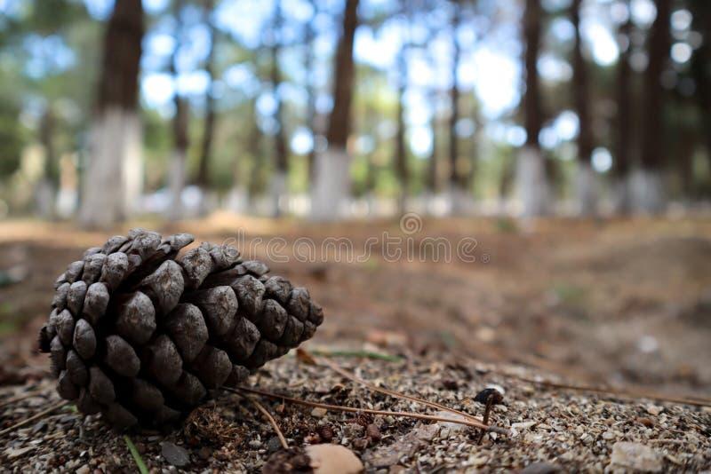 Cone do pinho na terra da floresta, cones do close-up no assoalho da floresta fotografia de stock