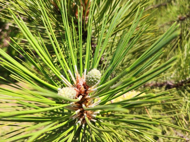 Cone do pinho no ramo Kiefern, fundo verde fotografia de stock royalty free