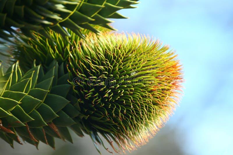 Cone fêmea do araucana da araucária fotos de stock