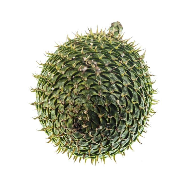 Cone fêmea do pinho de Ilhas Norfolk imagens de stock royalty free