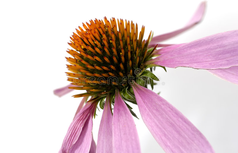 Download Cone Flower stock image. Image of detail, floral, echinacea - 1014893