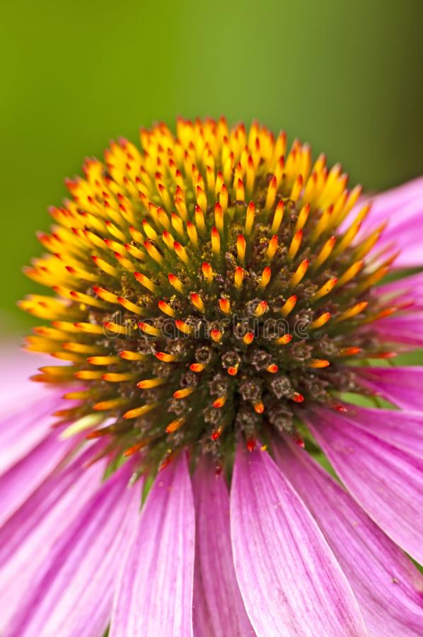 Cone-flower royalty free stock image