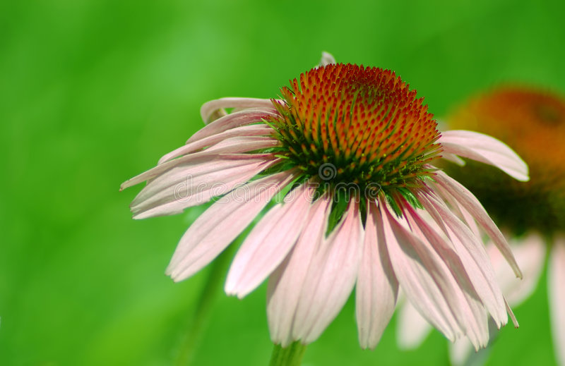 Cone Flower stock images