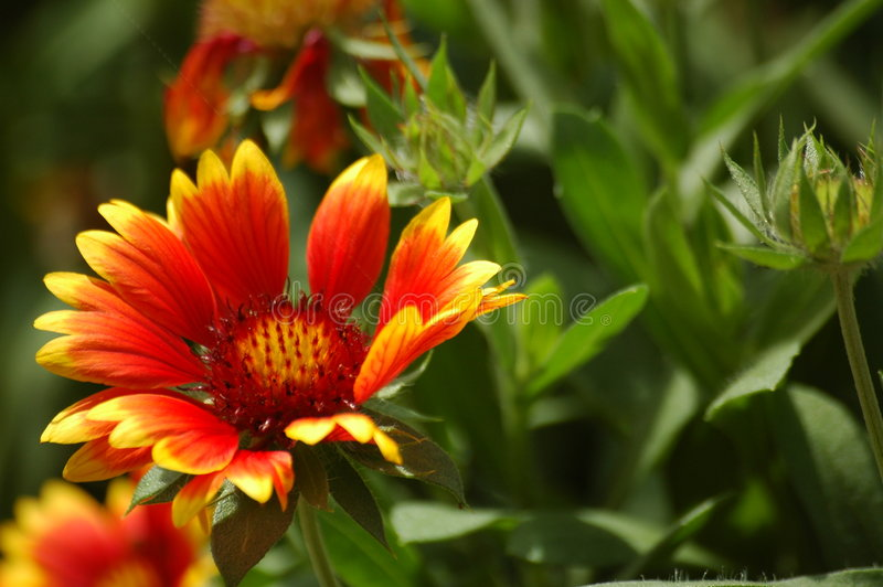 Cone Flower royalty free stock images