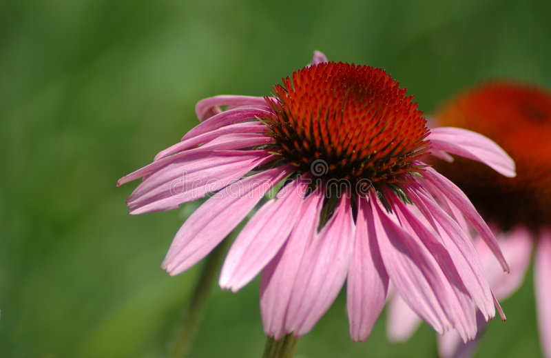 Download Cone flower - echinaccea stock photo. Image of presentation - 169956