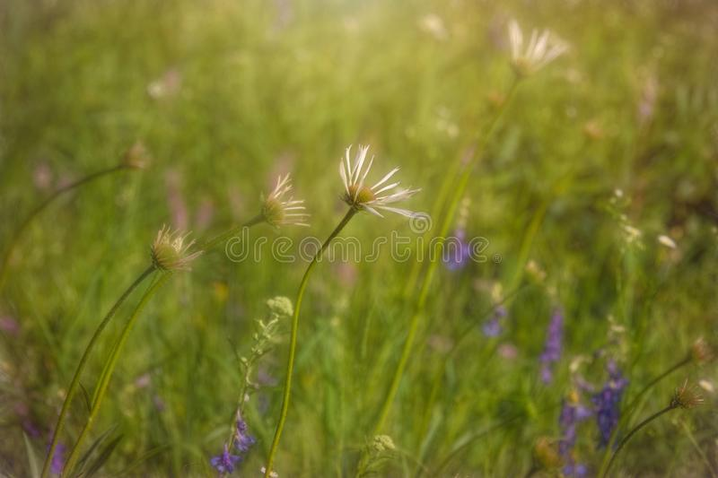 Cone Flowers at Flannagan Prairie royalty free stock photography