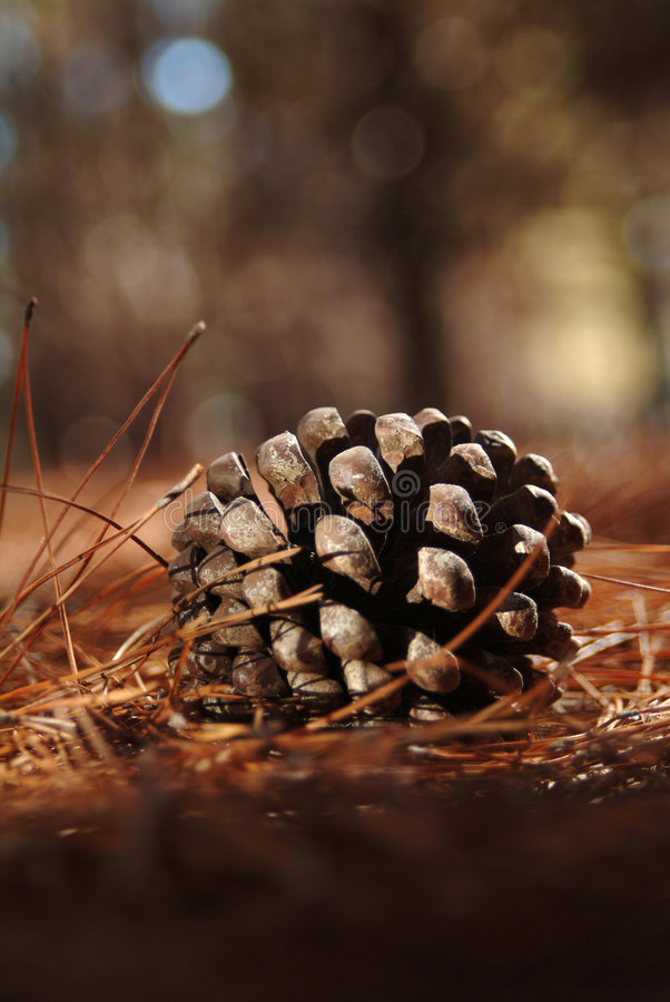 Free Cone From A Montery Pine Stock Photography - 874082