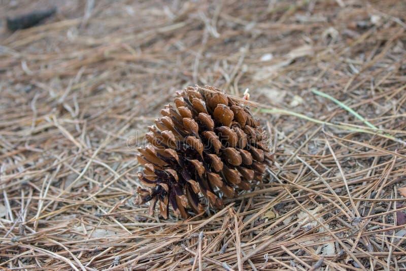 Cone grande do pinho marrom na terra Cone do pinho em agulhas con?feras secas Close up de Pinecone foto de stock