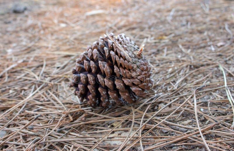 Cone grande do pinho marrom na terra Cone do pinho em agulhas con?feras secas Close up de Pinecone fotos de stock royalty free