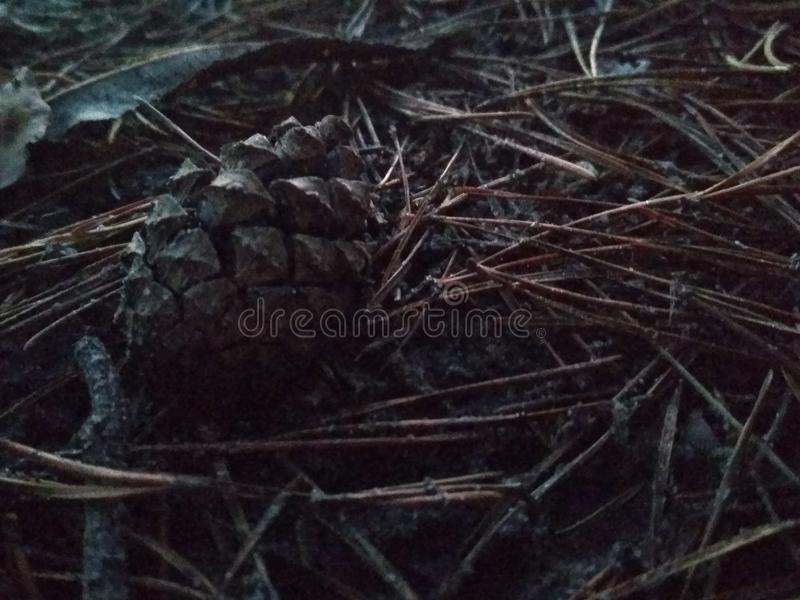 Cone na floresta imagens de stock royalty free