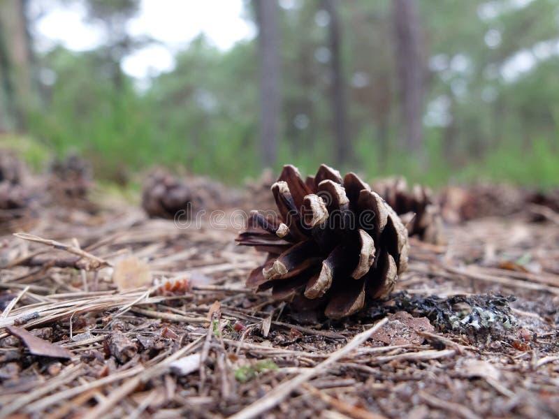 Cone no meio de uma floresta foto de stock