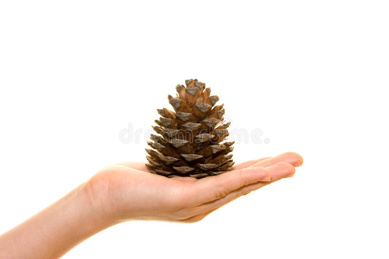 Cone on palm stock image
