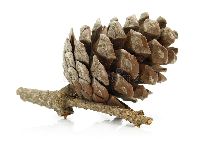 Download Cone Pine-tree On Branch Isolated Royalty Free Stock Photos - Image: 6135278