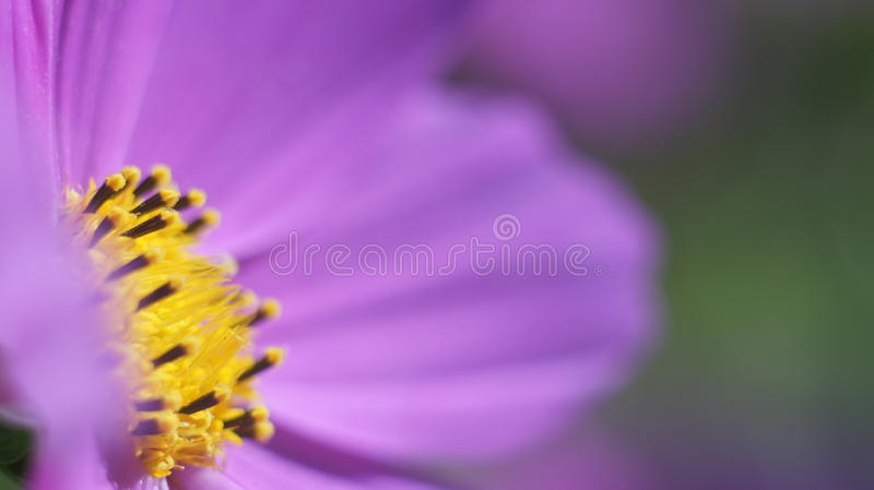 Cone Purple flower close up royalty free stock photo