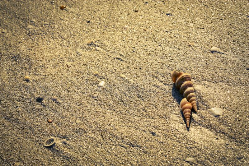 Cone seashells on the beach royalty free stock images