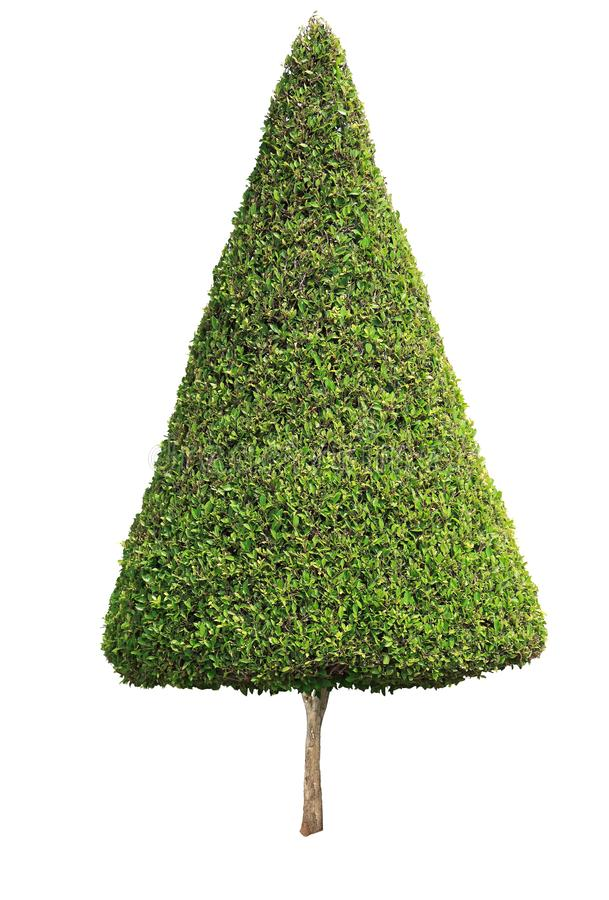 Cone shape trimmed topiary tree isolated on white background for formal and artistic design garden royalty free stock photos