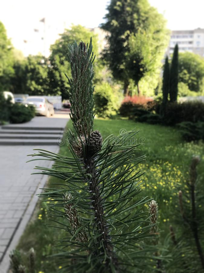 Cone on the tree.  Little lump growing on a tree.  royalty free stock photos
