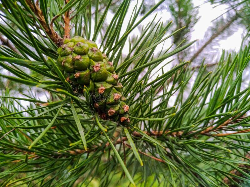 Cone verde do pinho em um ramo de árvore no verão fotos de stock royalty free