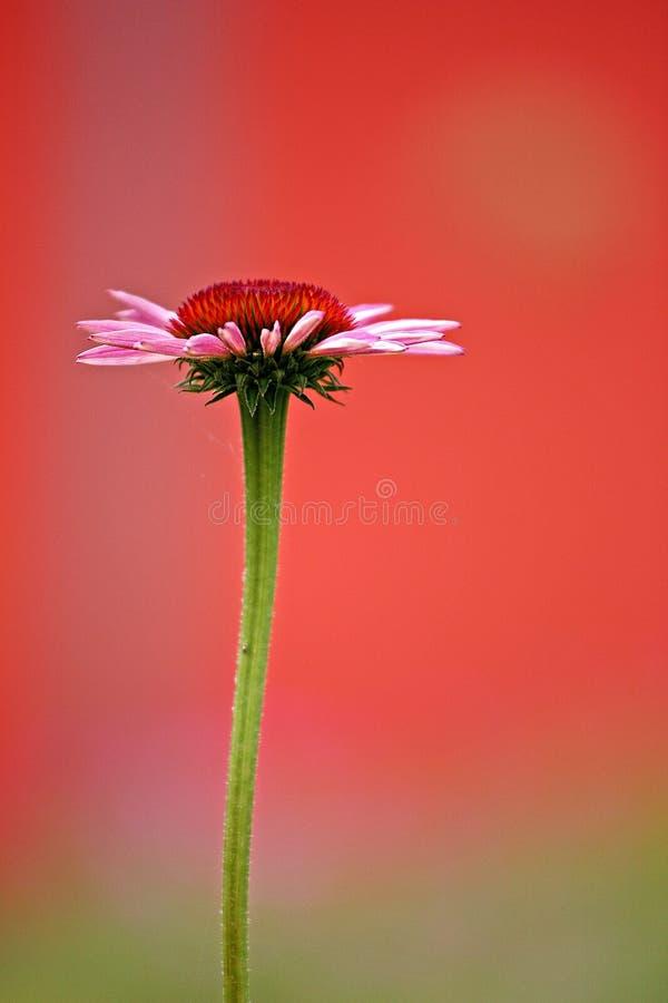 Цветок, конец вверх, фотография макроса, Coneflower стоковые изображения rf