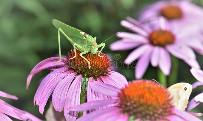 Цветок, нектар, Coneflower, флора стоковое изображение