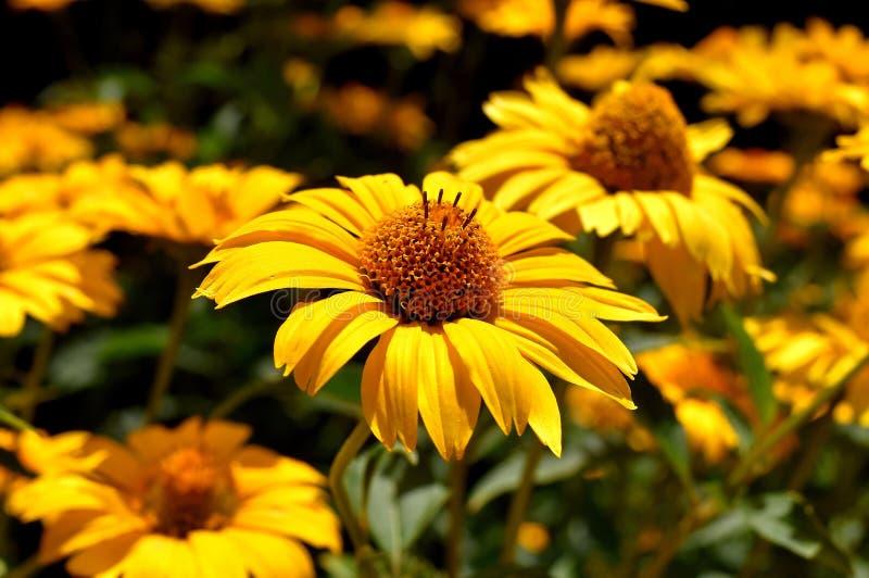 Цветок, желтый цвет, Coneflower, флора стоковая фотография