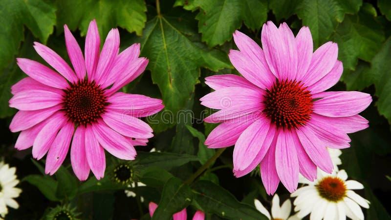 Цветок, завод, Coneflower, цветковое растение стоковая фотография rf