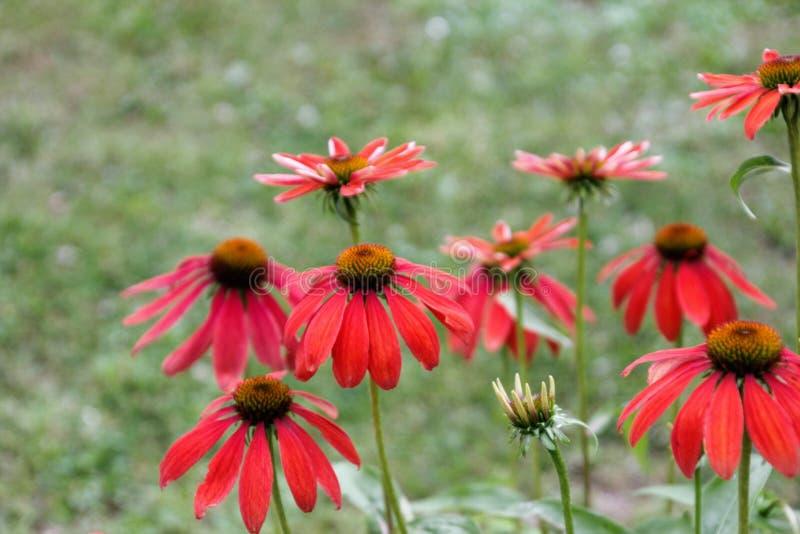 Цветок, завод, Coneflower, флора стоковая фотография