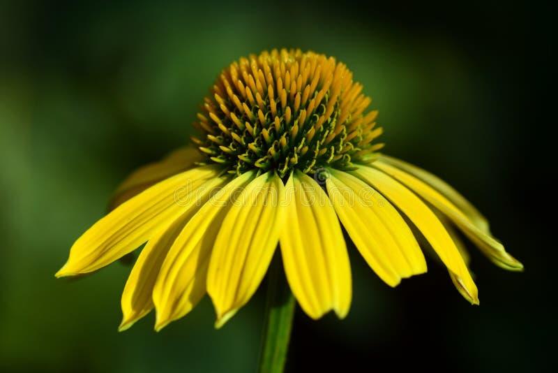 Цветок, желтый цвет, Coneflower, конец вверх стоковая фотография