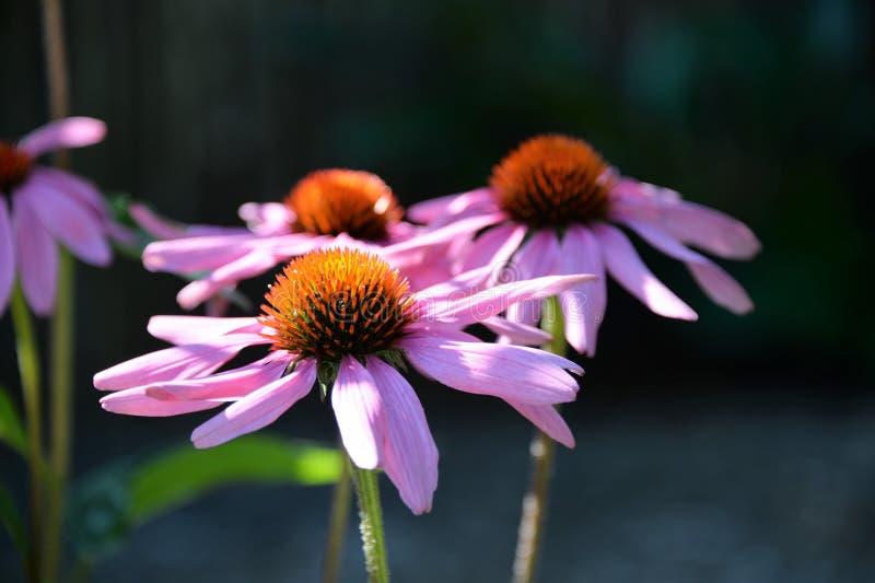 Цветок, Coneflower, завод, пурпур стоковые изображения
