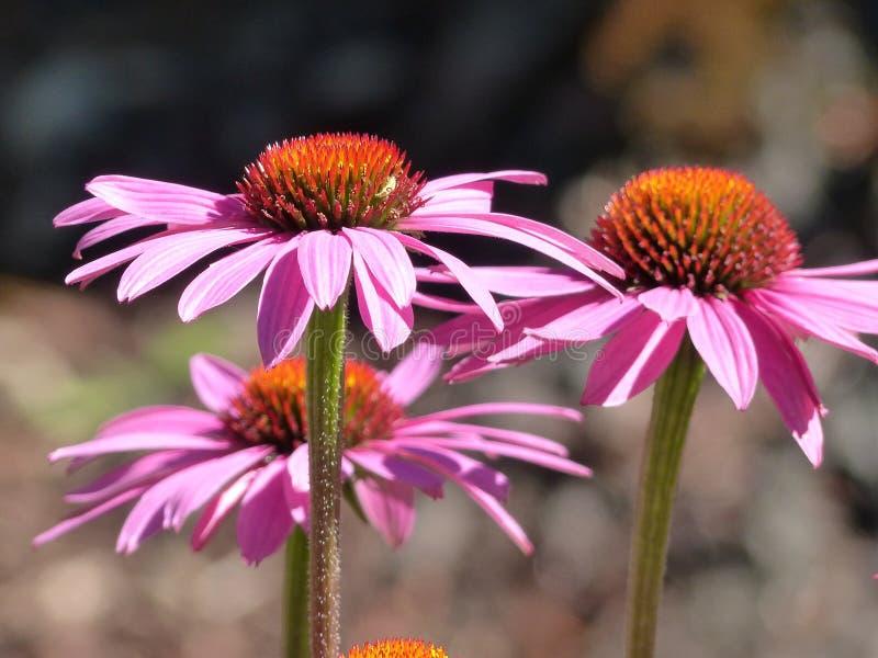Цветок, завод, Coneflower, цветковое растение стоковые изображения