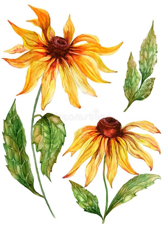 Coneflower amarelo bonito da flor do echinacea na flor completa em uma haste verde com folhas Grupo botânico ilustração stock