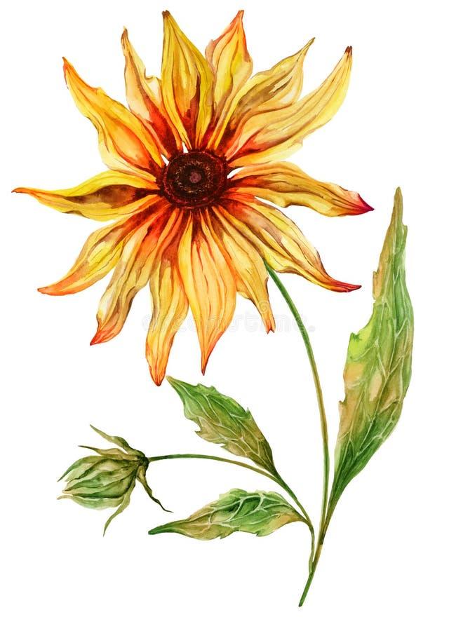 Coneflower amarelo bonito da flor do echinacea na flor completa em uma haste verde com folhas Isolado no fundo branco ilustração do vetor