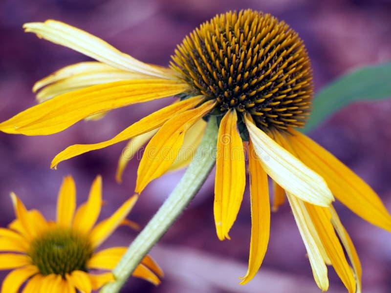 Coneflower amarelo - Echinacea imagens de stock royalty free