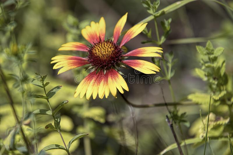 Coneflower in a garden. A close up photo of a delicate red and yellow coneflower in a garden stock images