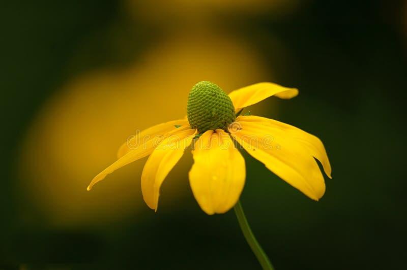 Coneflower jaune image libre de droits
