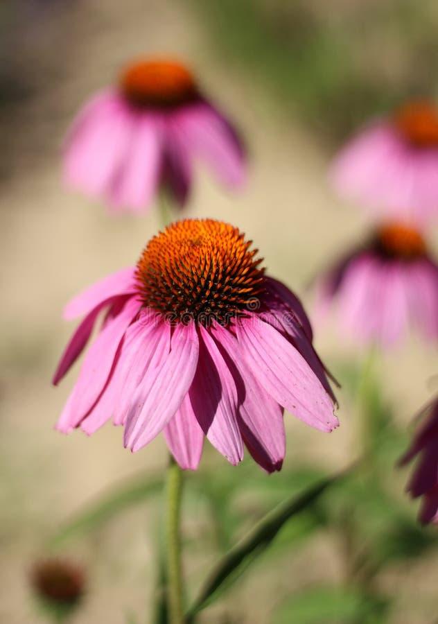 Coneflower púrpura del este en flor imágenes de archivo libres de regalías