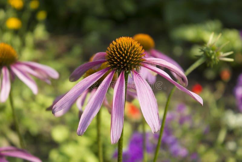Coneflower púrpura, purpurea del Echinacea que florece en un jardín fotografía de archivo libre de regalías