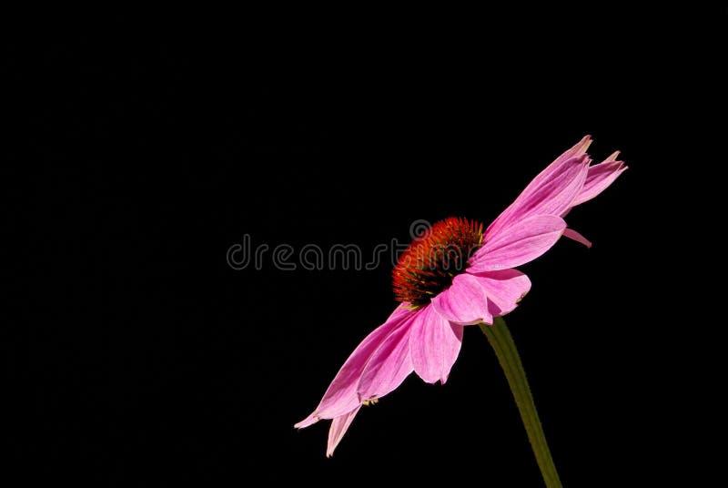 Coneflower pourpré 07 images stock