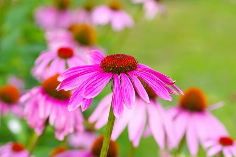Coneflower pourpre, fleur rose gentille image stock
