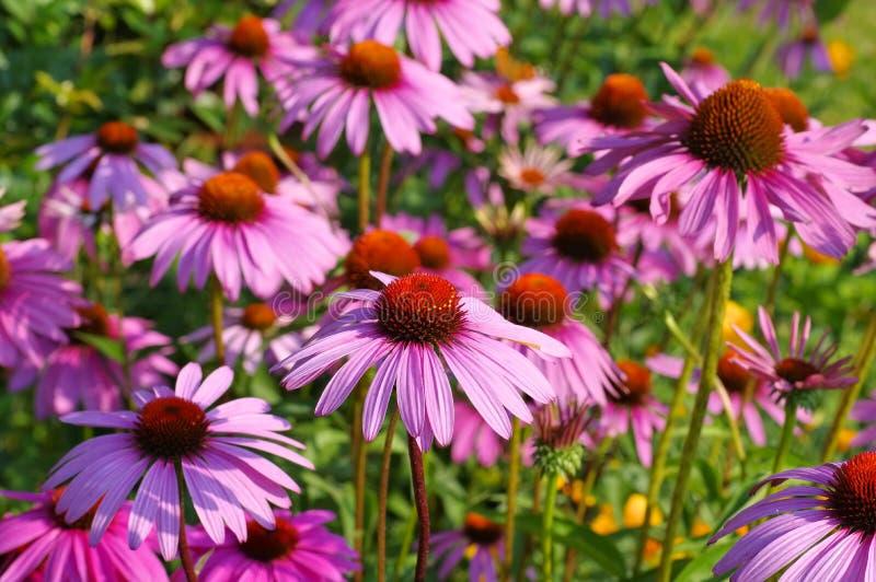 Coneflower pourpre, fleur rose gentille d'été photos libres de droits
