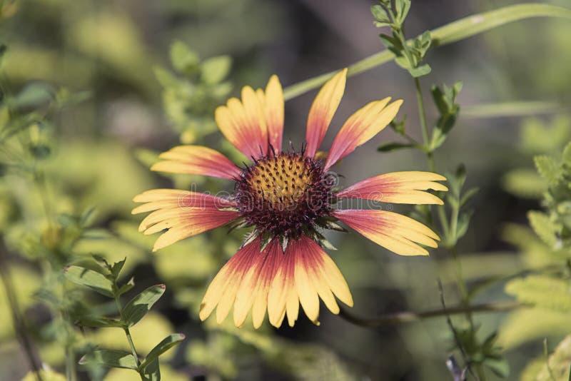 Coneflower rojo y amarillo en un jardín fotografía de archivo
