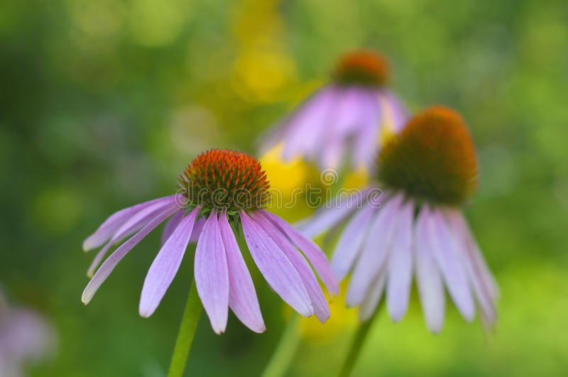 Coneflower roxo oriental (purpurea L do Echinacea ) no fundo verde borrado imagem de stock
